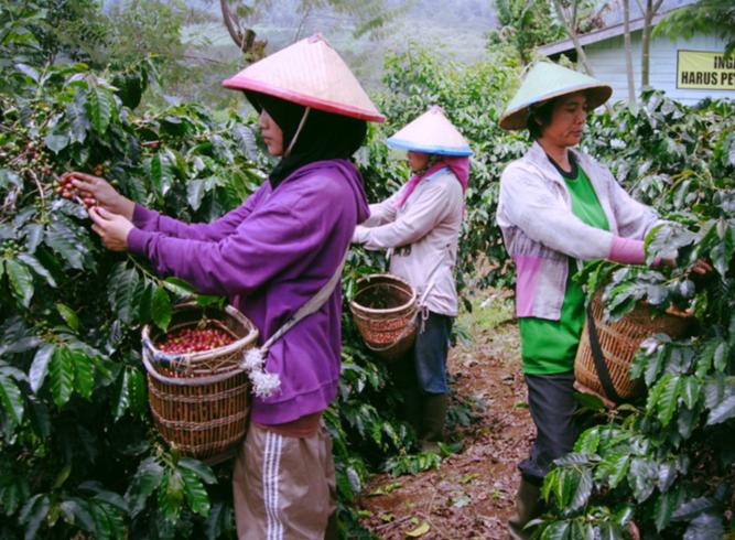 Кофе из Индонезии